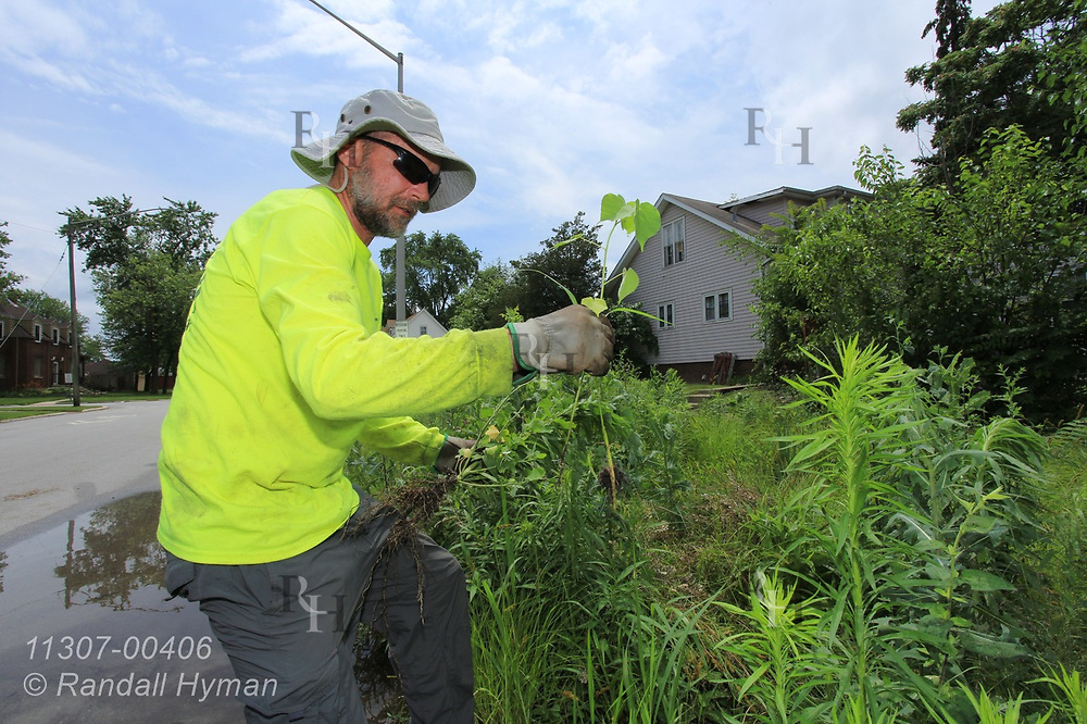 Cardno Field Manager Jim McAley weeds rain garden in Chicago South Side neighborhood to control stormwater runoff into Lake Michigan; Blue Island, Illinois.