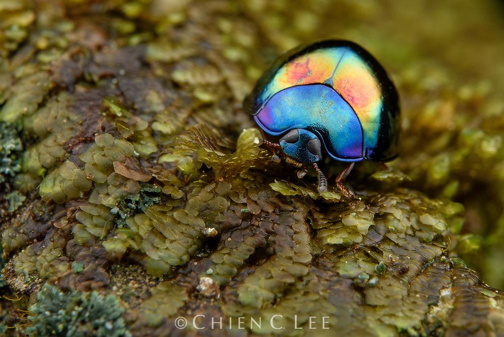 Darkling beetle (Tetraphyllus sp.). Sarawak, Malaysia (Borneo).