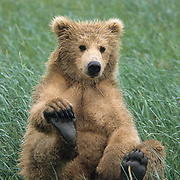 Alaskan Brown Bear (Ursus middendorffi) cub playing with its foot. Katmai National Park, Alaska