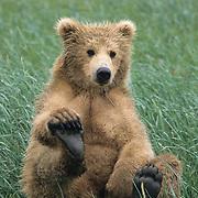Alaskan Brown Bear (Ursus middendorffi) cub playing with its foot. Katmai National Park, Alaska