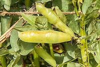 Fava beans grow in an organic garden.