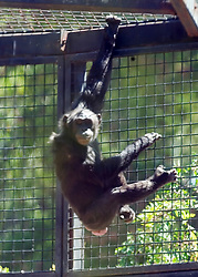 Unidentified female chimpanzee hangs around the enclosure at the Oakland Zoo, seen Tuesday, Aug. 24, 2010 in Oakland, Calif. (D. Ross Cameron/Staff)