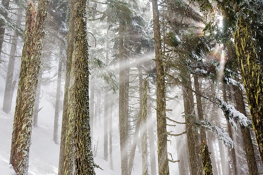 Early morning sun rays shine through the fog and mist enveloping a pine forest on a Winter morning, Mount Baker-Snoqualmie National Forest, Washington.