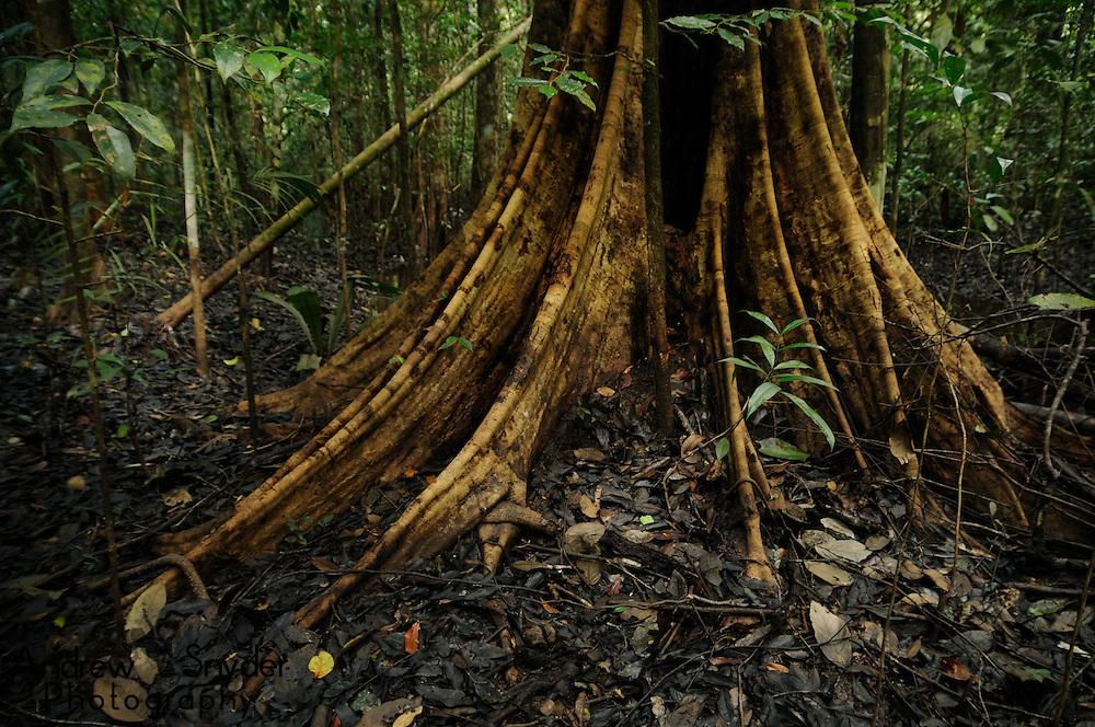 Buttress roots of a Mora tree (Mora excelsa). Iwokrama rainforest, Guyana.
