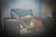 SHOT 1/27/17 1:31:16 PM - Tanner, a 12 year-old male Vizsla, napping on his favorite chair at his home in Denver, Co. The Vizsla, is a dog breed originating in Hungary. The Hungarian or Magyar Vizsla represents one of the best in sporting dogs and loyal companions and has a strong claim to being one of the smallest of the all-round pointer-retriever breeds. The Vizsla's size is one of the breed's most attractive characteristics and through the centuries he has held a unique position for a sporting dog -- that of household companion and family dog. The Vizsla is a natural hunter endowed with a good nose and an above average trainability. Although they are lively, gentle mannered, demonstrably affectionate and sensitive, they are also fearless and possessed of a well-developed protective instinct.<br /> (Photo by Marc Piscotty / © 2017)