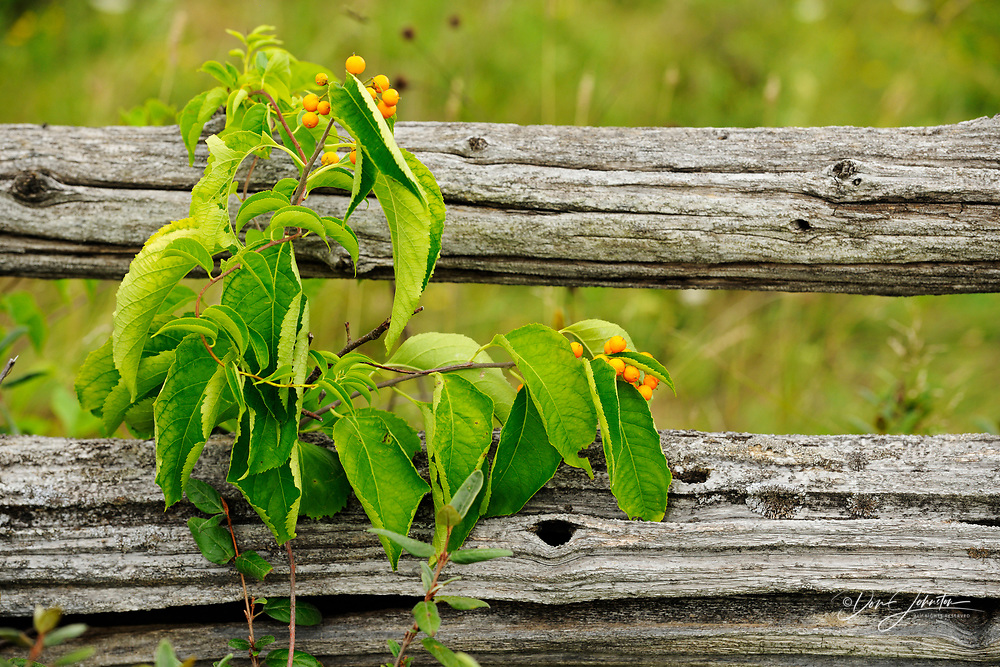 American bittersweet (Celastrus scandens) With berries on a split-rail fence, Manitoulin Island- Sheguiandah, Ontario, Canada