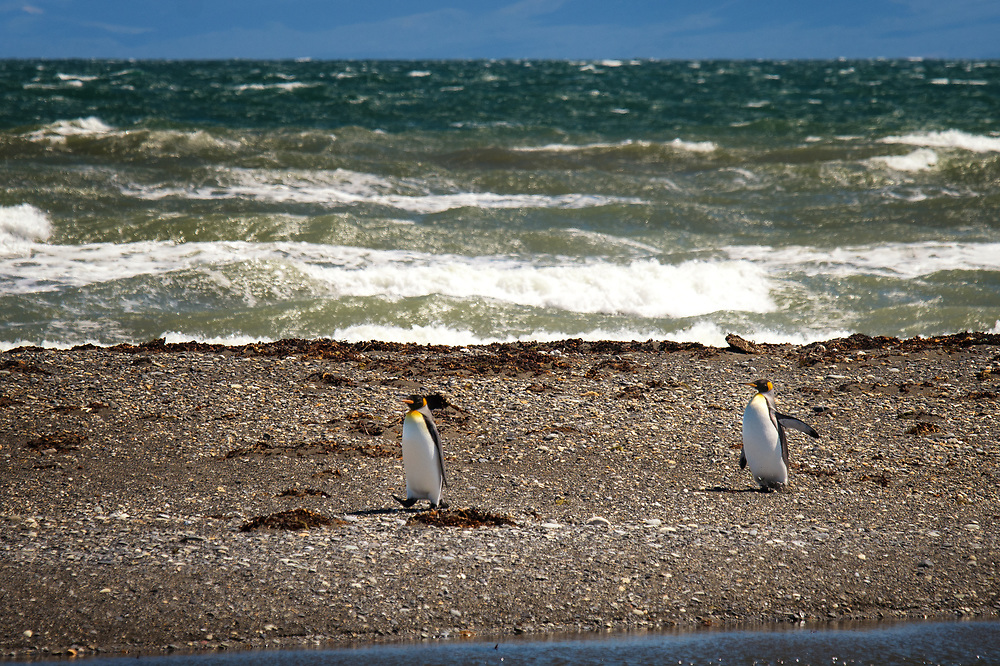 King penguins of Penguino Rey colony at Strait of Magellan near Porvenir, Chile