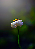 Fading Daisy in a Lotus Leaf Irmo, South Carolina  photo by catherine brown