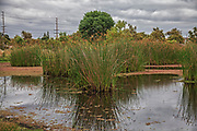 Tall grass  (Tules) in the marsh. Madrona Marsh Wetlands is a vernal freshwater marsh and is approximately 43 acres. torrance, California, USA