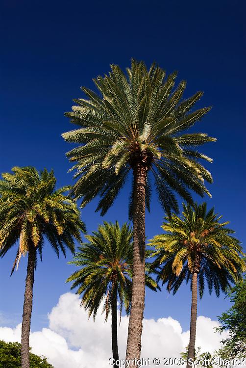 Palm trees in Kapi'olani Park in Waikiki.