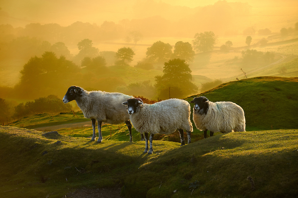 Swale sheep at sunrise over Rosedale viewed from Chimney Bank, North Yorks National Park, North Yorkshire, England .<br /> <br /> Visit our ENGLAND PHOTO COLLECTIONS for more photos to download or buy as wall art prints https://funkystock.photoshelter.com/gallery-collection/Pictures-Images-of-England-Photos-of-English-Historic-Landmark-Sites/C0000SnAAiGINuEQ