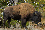 American Bison Buffalo in Yellowstone National Park, Wyoming