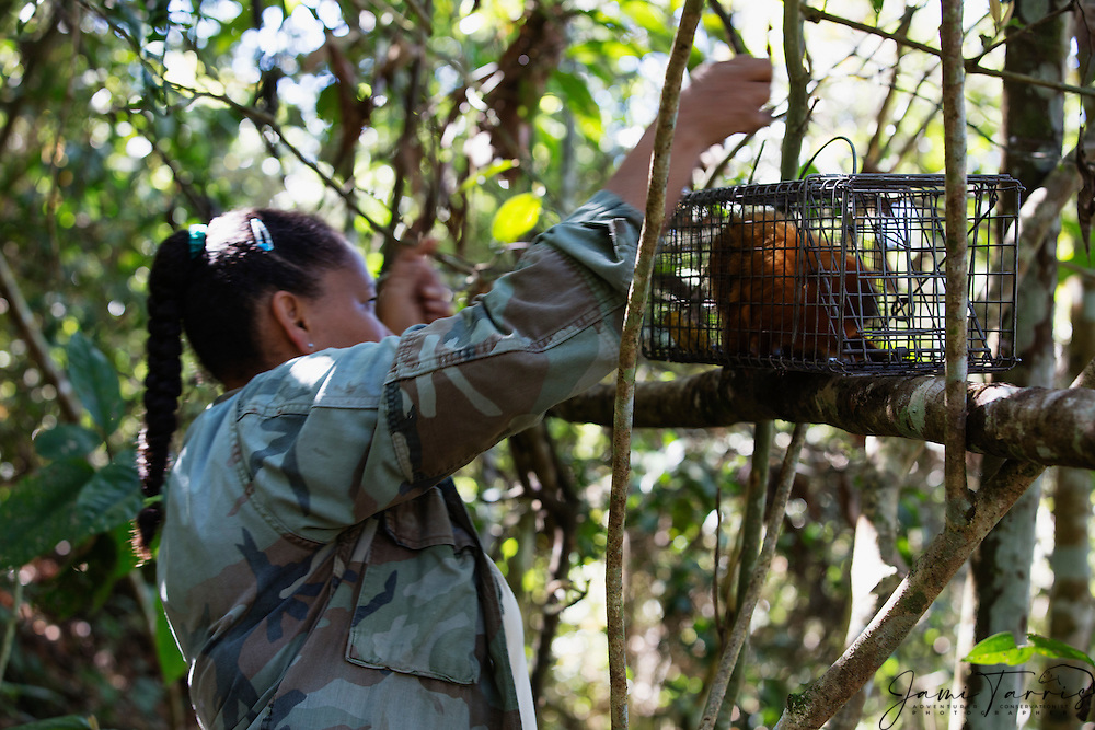 A research biologist captures a golden lion tamarin  (Leontopithecus rosalia) in a trap for research purposes, highly endangered primate ,Brasil, South America