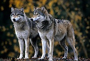 Grey wolves (Canis lupus), photographed in Washington. Captive.