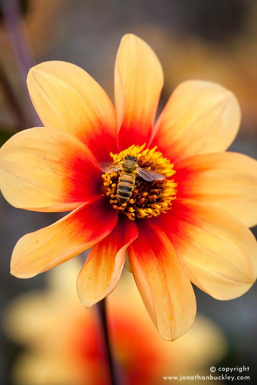 Dahlia 'Moonfire' AGM with bee