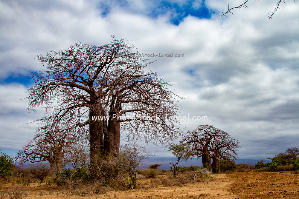 Baobab tree (Adansonia digitata). This tree is found in the hot, dry regions of Sub-Saharan Africa. It has a large trunk for storing water. Photographed in Lake Eyasi National Park, Tanzania, Africa,