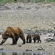 Alaskan Brown Bear, (Ursus middendorffi) Mother and three cubs along tidal flats. Alaskan Peninsula.