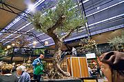 Nederland, Duiven, 11-12-2019In een vestiging van Intratuin geeft een medewerker een oude olijboom water . De bomen worden gehaald uit landen in Zuid Europa, zoals Spanje en Italie . Er is ongenoegen hierover omdat daarmee oude bomen uit hun eigen omgeving gehaald worden en horen tot het erfgoed van de lokale bevolking.. Foto: Flip Franssen