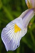 Blue Iris (Iris versicolor), photographed in Cherokee Marsh Park, Madison, Wisconsin, USA