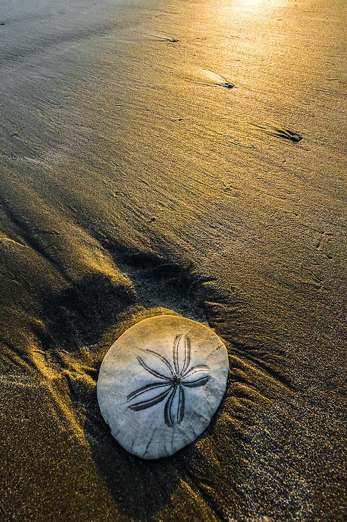 Sand dollar, afternoon light, May, Salish Sea, Olympic Peninsula, Washington, USA