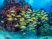 Tropical Grunt fish school on reef in Cozumel, Mexico