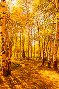 Aspens Highlight Autumn's Glow In Grand Teton National Park