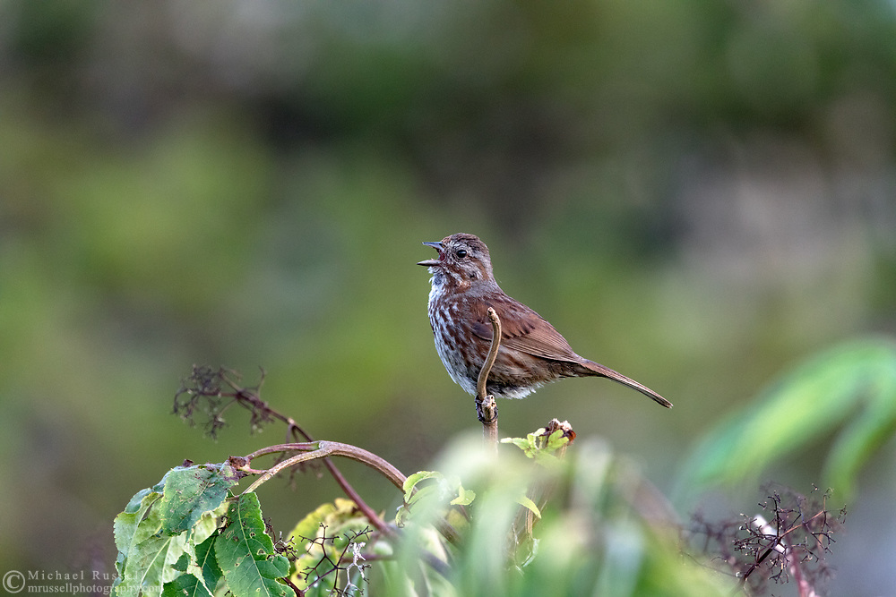 A Song Sparrow (Melospiza melodia) singing while perched on a branch at Blackie Spit in Surrey, British Columbia, Canada.