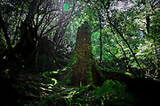 Japan, Yakushima - Mononoke forest - a giant cedar roots covered with moss