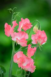 Lathyrus odoratus 'Valerie Harrod' AGM - Sweet pea