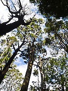 Beech forest reaches for the sky in Nelson Lakes National Park, South Island, New Zealand