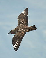 Great Skua (Stercorarius skua). Image taken with a Nikon N1V2 camera, FT1 adapter, and 80-400 mm VR lens.