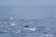 fish boil, with wedge-tailed shearwaters or wedgetail shearwater, Puffinus pacificus, and aku, skipjack tuna, or striped tuna, Katsuwonus pelamis, feeding on small bait fish, off shore near a FAD or fish aggregating device, Kona, Hawaii ( the Big Island ) Central Pacific Ocean