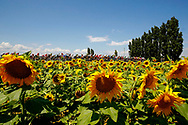 Scenery, Sunflowers, landscape during the 105th Tour de France 2018, Stage 14, Saint-Paul-trois-Chateaux - Mende (188 km) on July 21th, 2018 - Photo Luca Bettini / BettiniPhoto / ProSportsImages / DPPI