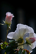 Pink and white garden rose