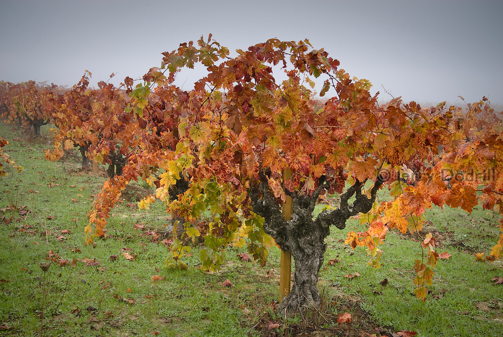 Foggy Autumn Morning in Von Weidlich Vineyard on Harrison Grade near Occidental, California. These vines were planted in 1937 and yield premium Sonoma County old vine zinfandel wine grapes, produced by Ottimino.