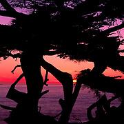 Sunset over the Pacific Ocean between unique Monterey cypress trees. Monterey Peninsula, CA.