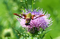 Clearwing Hummingbird Moth on a Thistle Bloom. Summer Nature in New Jersey. Image taken with a Nikon D4 and 300 mm f/2.8 VR lens (ISO 100, 300 mm, f/2.8, 1/1000 sec).
