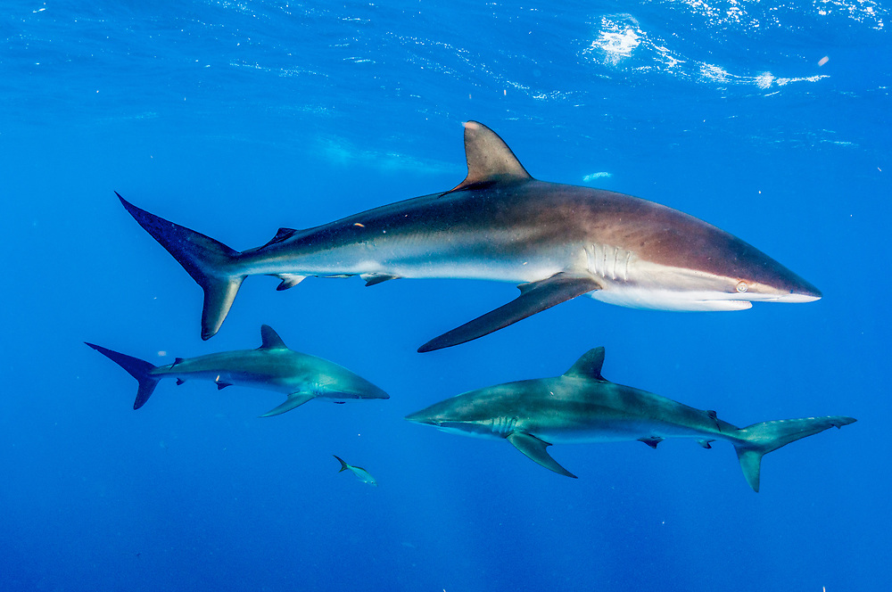 A trio of silky sharks (Carcharhinus falciformis) off Jardines de la Reina, Gardens of the Queen National Park, Cuba.