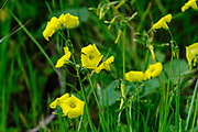 Oxalis pes-caprae (Bermuda buttercup, African wood-sorrel, Bermuda sorrel, Buttercup oxalis, Cape sorrel, English weed, Goat's-foot, Sourgrass, Soursob and Soursop; Originally from the Cape this plant is an invasive weed that has spread worldwide.