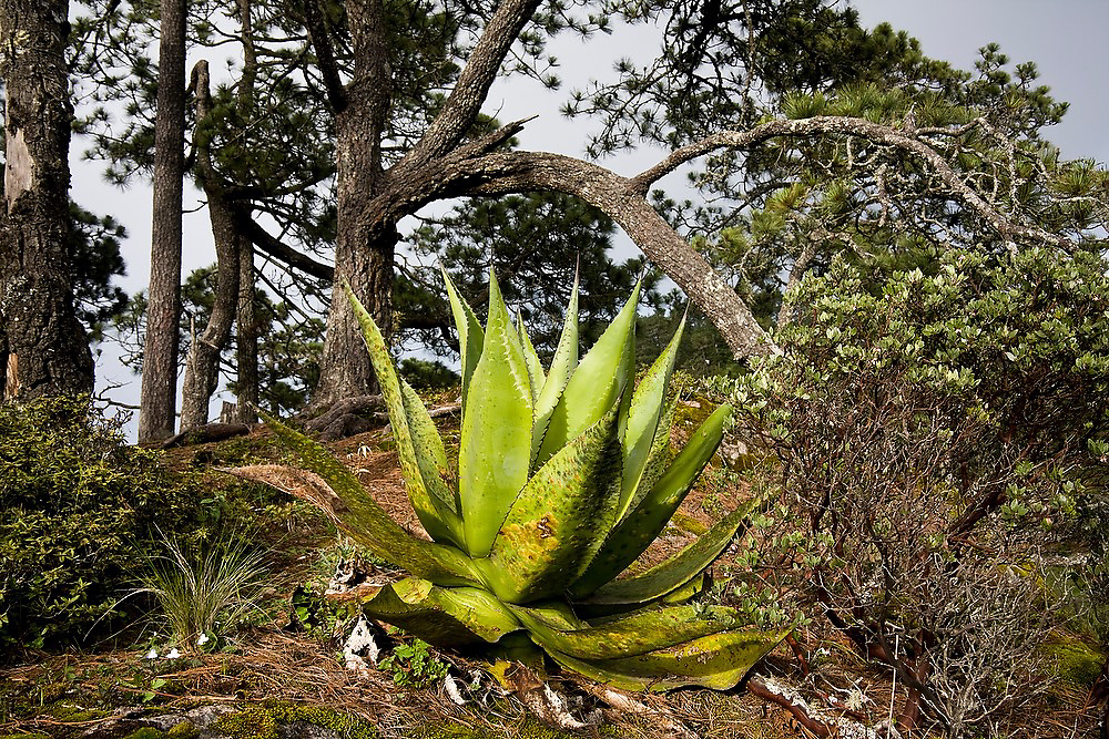 A large maguey plant and pine trees at the overlook above Benito Juarez in the Sierra Norte Mountains, Oaxaca state, Mexico.