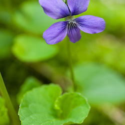 Common blue violets, Viola papilionacea, growing next to Gulf Brook in Pepperell, MA.  Gulf Brook Ravine.