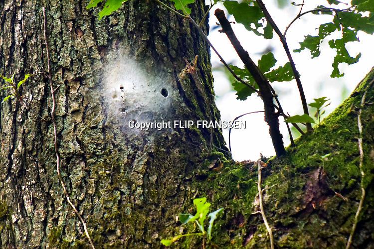 Nederland, Berg en Dal, 07-07-2019 Nest van de  eikenprocessierups in een boom, eik, eikeboom. Foto: Flip Franssen