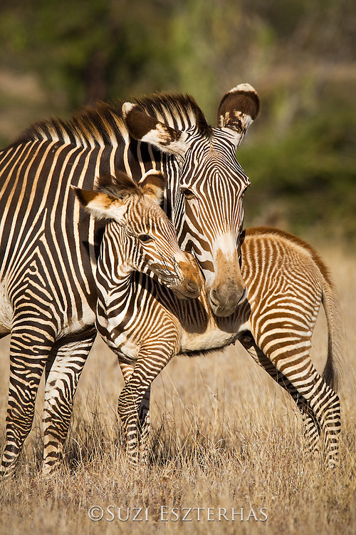 Grevy's Zebra<br /> Equus grevyi<br /> Mother and young foal<br /> Lewa Wildlife Conservancy, Northern Kenya