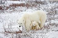 01874-110.06 Polar Bears (Ursus maritimus) female & 2 cubs near Hudson Bay, Churchill  MB, Canada