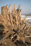 Trees eroded and sculpted by the sea, Covehithe beach, Suffolk, England