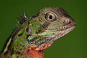 Guichenot's Dwarf Iguana (Enyaliodes laticeps)<br /> Amazon Rainforest, Pastaza Province<br /> South ECUADOR.  South America