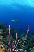 Caribbean reef shark, Carcharinus perezi, on coral reef with purple rope sponges, Aplysina sp., , Bahamas ( Western Atlantic Ocean )
