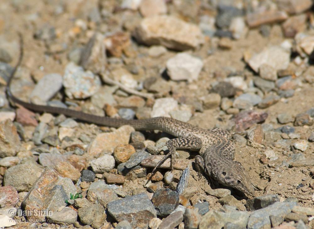 Great Basin whiptail, Cnemidophorus tigris tigris.  Wildrose Canyon, Death Valley National Park, California