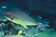 sleek unicornfish or blacktongue unicorn fish,<br /> Naso hexacanthus, has changed to dark color <br /> phase as it leaves the cleaning station,<br /> color change sequence #3 of 3, Sipadan Island,<br /> Borneo, Malaysia ( Celebes Sea )