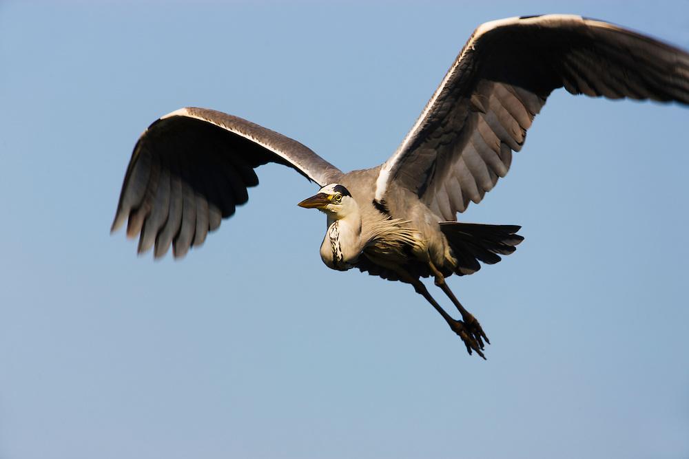 Grey heron (Ardea cinerea), in flight, Pont du Gau, Camargue, France